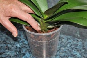 Все нюансы увлажнения орхидеи. Как часто и каким образом поливать разные виды культуры?