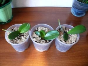 Все способы разведения орхидей. Как правильно размножить растение в домашних условиях?
