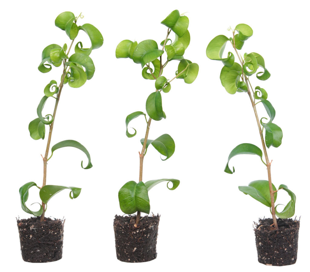 Как выглядит фикус и как называются сорта растения с ...