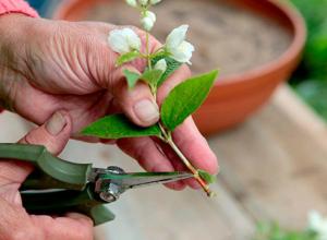 Зачем формировать крону жасмина? Как правильно обрезать растение?