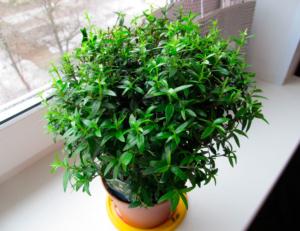 Зачем и когда нужно обрезать мирт? Как формировать растение в домашних условиях?