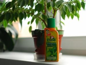 Правила ухода за фикусом в домашних условиях. Что любит комнатное растение?