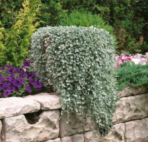 Тропическая красавица дихондра — описание и фото, выращивание дома и в саду
