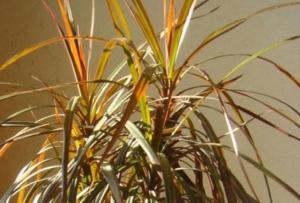 Важные нюансы ухода за драценой: как правильно поливать цветок? Признаки плохого увлажнения