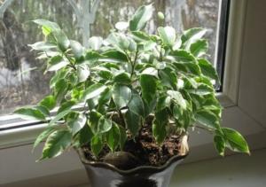 У фикуса сохнут листья. Почему это происходит и как спасти растение?