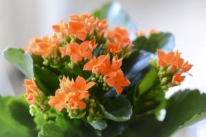 Красивое растение - каланхоэ: как его правильно обрезать, зачем это нужно и иные рекомендации