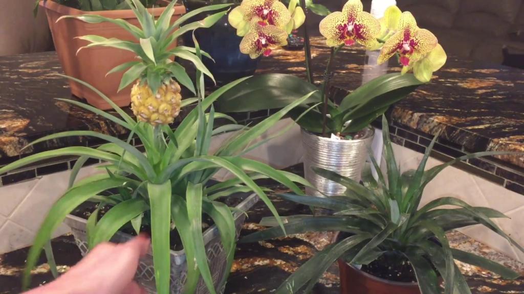 Как вырастить дома комнатный ананас? Секреты ухода за культурой