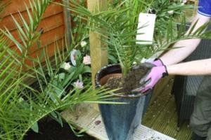 Правильный уход за пальмой. Когда лучше пересадить южное растение и как это сделать?
