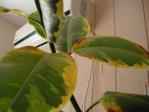 Почему у фикуса желтеют и опадают листья? Что делать для решения проблемы?