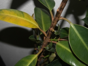 Почему на листьях фикуса появляются пятна? Как избавиться от проблемы?