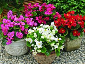 Ядовита бегония или нет? Стоит ли держать цветок дома, и как его применяют в народной медицине?