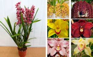 Правила ухода за вечнозеленой орхидеей цимбидиум в домашних условиях. Самые важные нюансы