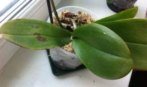 Спасти орхидею от вредителей и болезней можно! Почему появились пятна на листьях и как это лечить?