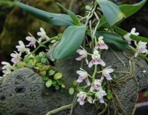 Изысканный цветок в дикой природе: как растут экзотические орхидеи, где селятся, почему любят деревья?