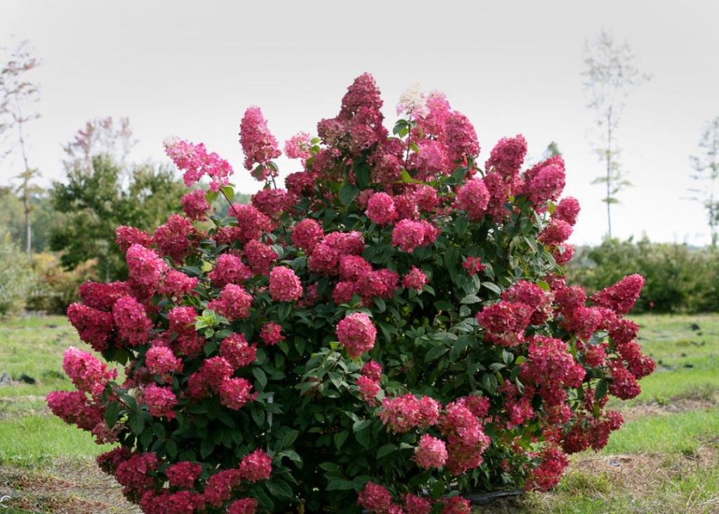 Шикарная гортензия: описание лучших видов и сортов растения