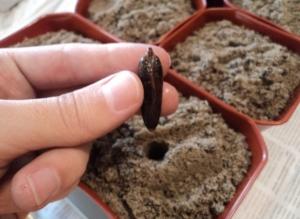 Как вырастить пальму из косточки от финика: все этапы подготовки, посадки и выращивания
