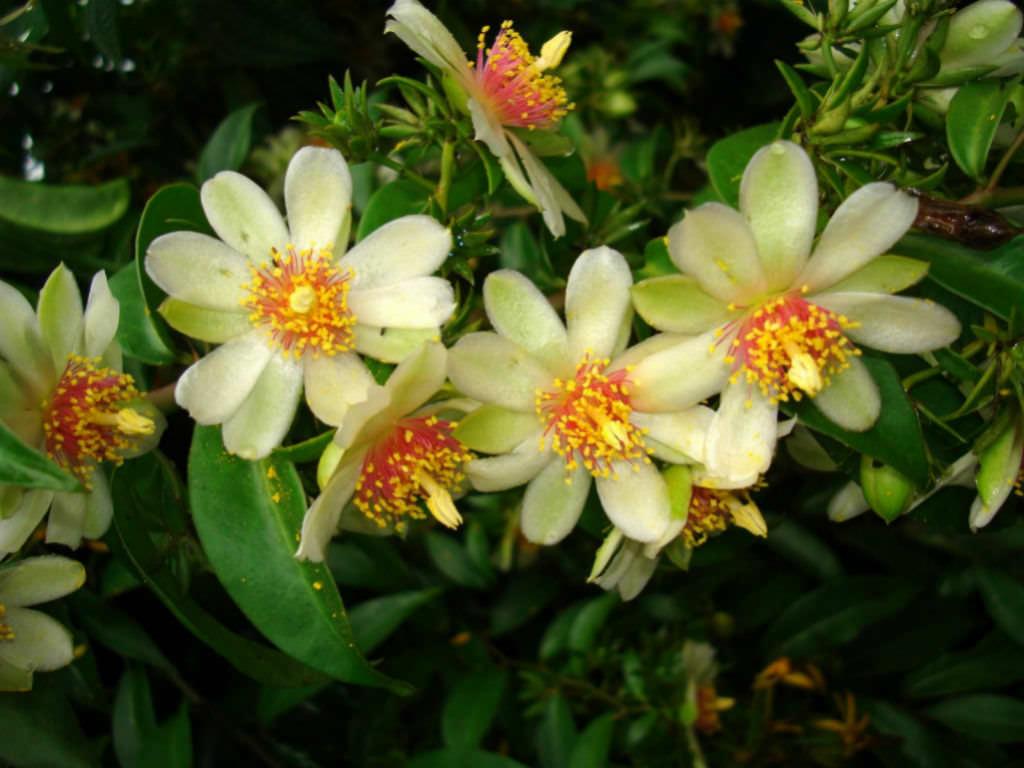 Часто ли цветут кактусы и сколько длится процесс? Фото, как выглядят разные виды культуры в этот период