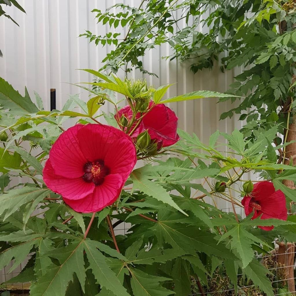 Изящный садовый цветок — гибискус: виды растения и особенности его выращивания