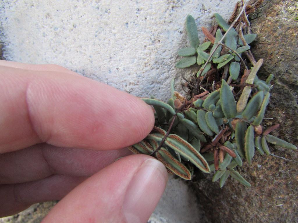 Красавица пеллея: виды растения и уход за ним в домашних условиях