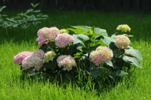 Крупнолистная красавица — гортензия Бесконечное лето. Агротехника выращивания и уход