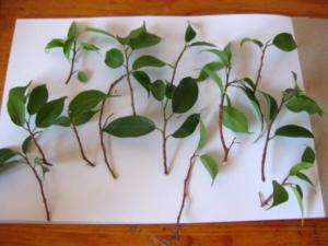 Советы цветоводов, как размножить комнатный фикус. Все нюансы процедуры