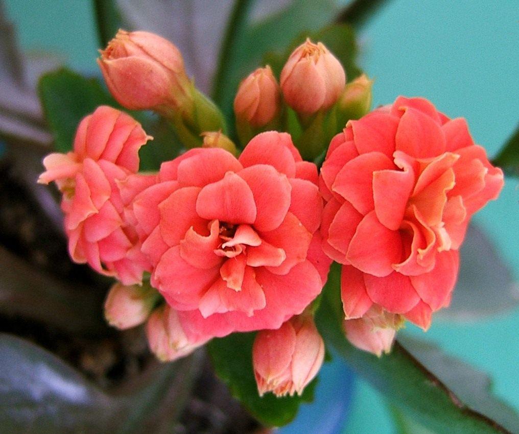 Как выглядят сорта и виды комнатного каланхоэ? Какие растения на него похожи?