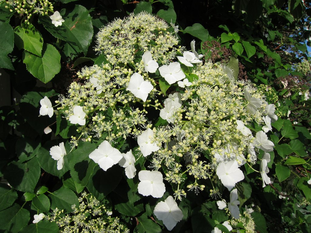 Украшение сада — декоративные деревья и кустарники гортензии. Почвопокровный и иные виды и сорта