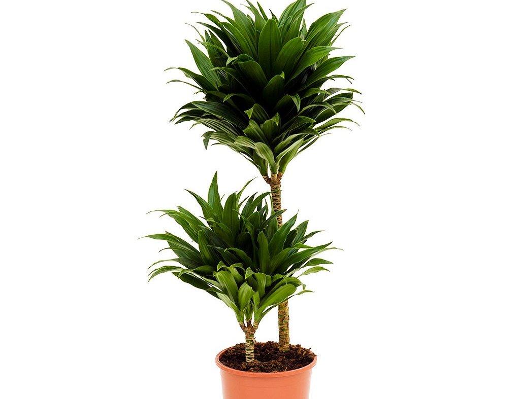 Какие есть виды комнатных цветов, похожих на пальму? Нюансы выращивания и ухода