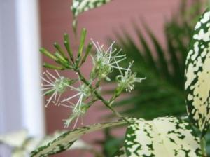 Описание, характеристика и виды пальмы драцена. Посадка и уход за растением в домашних условиях