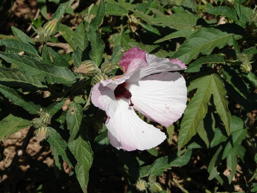 Как выглядят разные сорта и виды гибискуса? Где растет цветок и как применяется?
