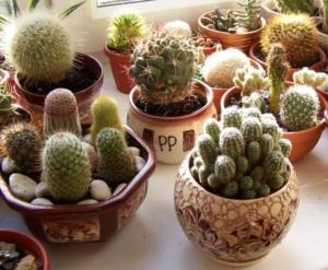 Правила посадки и выращивания кактусов. От чего зависит скорость роста?