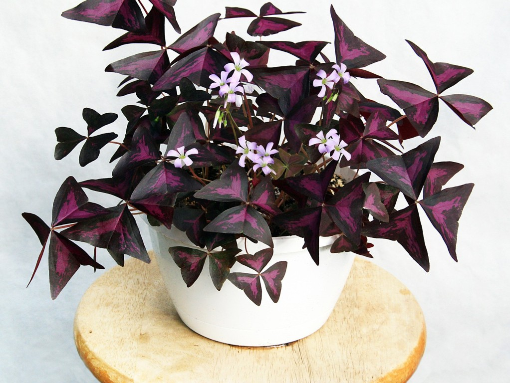 Красивый и полезный цветок «Бабочка»: описание, виды и свойства кислицы. Как ухаживать за комнатным растением?