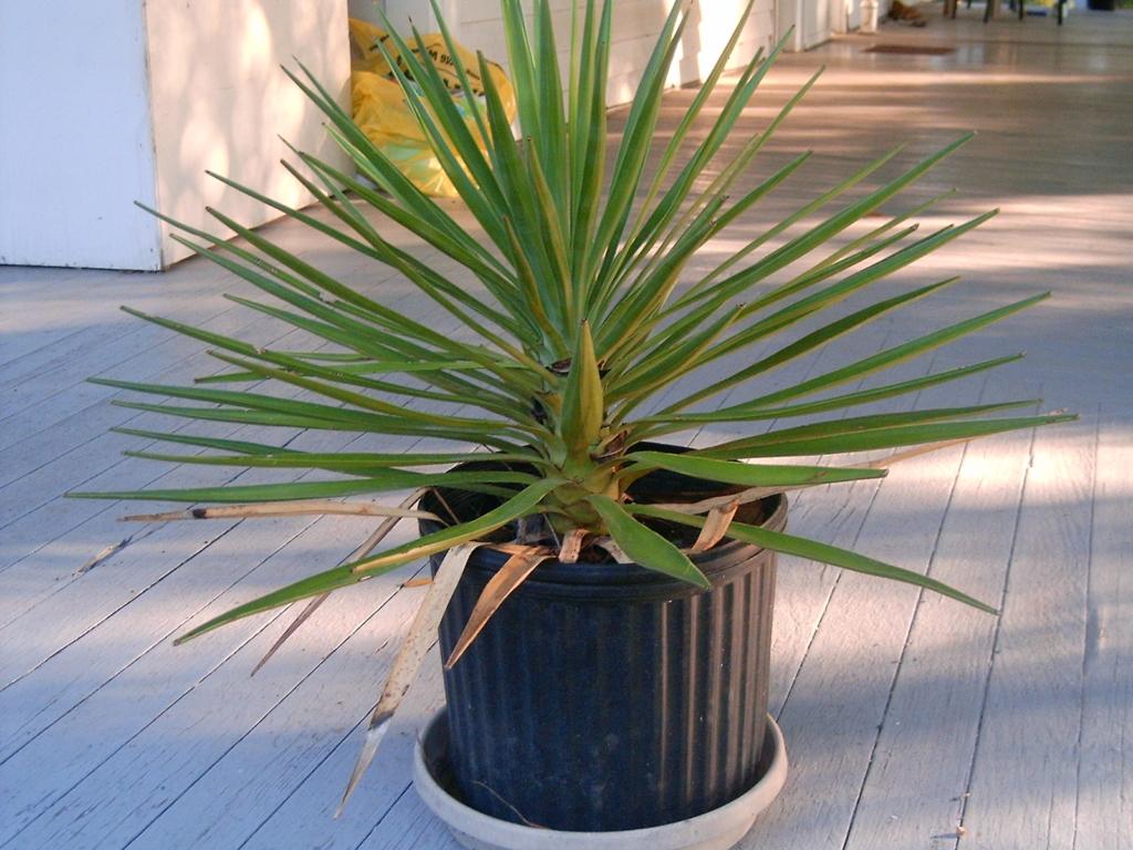 Вечнозелёный красавец-цветок — юкка. Посадка и уход в домашних условиях и в открытом грунте