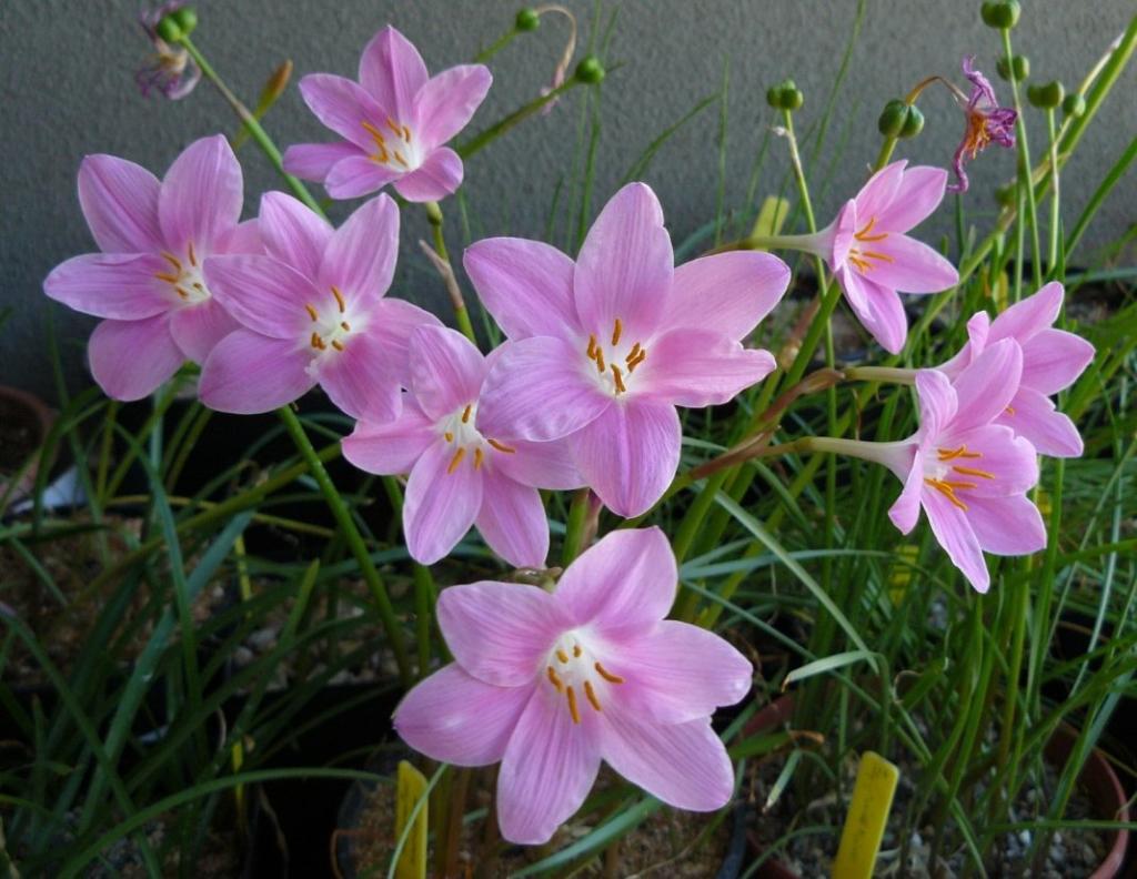 Неприхотливое луковичное растение — зефирантес. Описание, выращивание, уход в домашних условиях, виды и фото