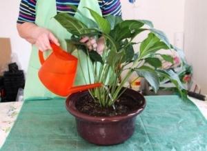 Как поливать антуриум? Основные правила увлажнения цветка в домашних условиях