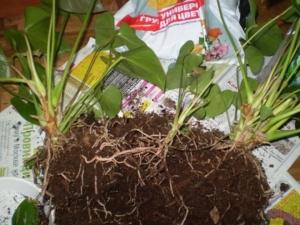 Как размножается антуриум? Посадка и уход за растением