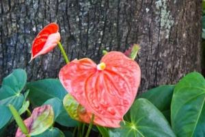 Цветок антуриум: описание, правила ухода и содержания. Как обновить растение?