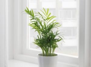 Эффектная пальма Хамедорея элеганс: польза и вред, правила ухода в домашних условиях