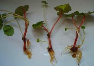 Выращивание бегонии клубневой: правила посадки, способы размножения и уход в домашних условиях