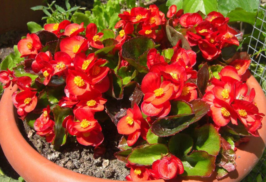 Красавица бегония вечноцветущая: характеристика растения и правила ухода за ним в домашних условиях