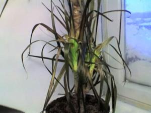 Красивый цветок чахнет: почему у драцены опадают листья и как избавить растение от проблемы?