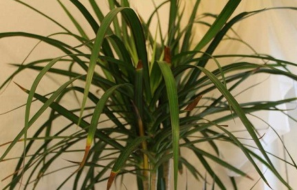 Почему у драцены сохнут кончики листьев?  Советы, что делать, чтобы спасти растение
