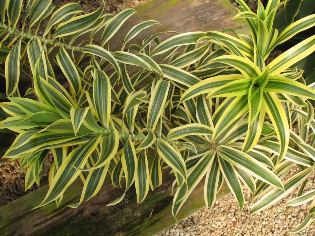 Растение с необычными листьями — драцена: как выглядит, какие виды бывают, как ухаживать за цветком?