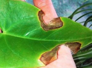 Как быть, если на листьях антуриума появились коричневые и желтые пятна? Причины проблемы