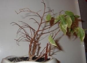 Почему фикус бенджамина сбрасывает листья? Как спасти растение?