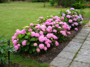 Красивый садовый кустарник — гортензия крупнолистная: посадка, выращивание и уход