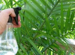 Правильный уход в домашних условиях за хамедореей. Что любит пальма?