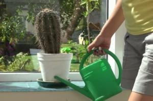 Уход за кактусом. Как часто и когда нужно поливать растение?