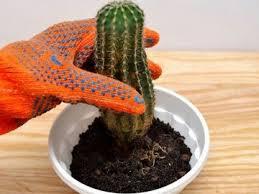 В какое время лучше посадить кактус? Практические рекомендации, как это сделать правильно