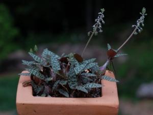 Декоративный цветок сцилла: описание и фото растения, виды и нюансы выращивания